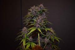 Fim da planta de marijuana do mirtilo acima imagens de stock