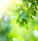 Fim da planta do lúpulo que cresce acima em uma exploração agrícola do lúpulo Foto de Stock