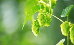 Fim da planta do lúpulo que cresce acima em uma exploração agrícola do lúpulo Fotografia de Stock