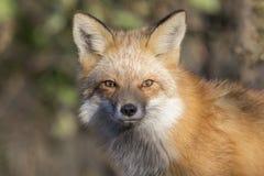 Fim da raposa vermelha acima Foto de Stock Royalty Free