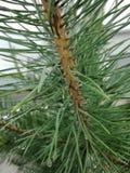 Fim da refeição matinal da árvore de abeto acima Fotografia de Stock