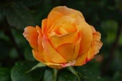 Fim da rosa da laranja acima Fotografia de Stock Royalty Free