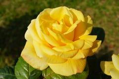 Fim da rosa do amarelo acima Imagens de Stock