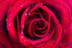 Fim da rosa do vermelho acima Imagem de Stock