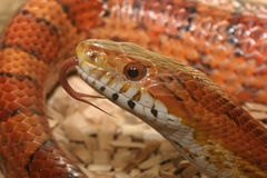 Fim da serpente de milho acima Fotos de Stock