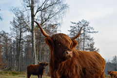 Fim da vaca das montanhas acima Fotografia de Stock