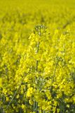 Fim da violação da semente oleaginosa acima Fotos de Stock