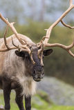 Fim de Bull do caribu acima fotos de stock royalty free