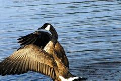 Fim de Canadá acima das asas de um flapping do ganso do canadense imagens de stock royalty free