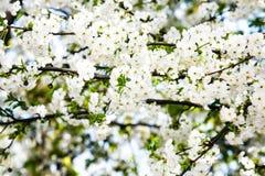 Fim de florescência do ramo da cereja acima Fotografia de Stock