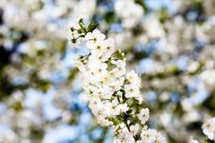 Fim de florescência do ramo da cereja acima Fotos de Stock