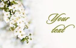 Fim de florescência do ramo da cereja acima Profundidade de campo rasa Fotografia de Stock
