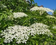 Fim de florescência mais velho do conjunto de flores acima fotos de stock royalty free