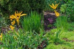 Fim de florescer tulipas amarelas Foto de Stock Royalty Free
