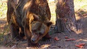 Fim de HD acima do vídeo do urso de Brown Come cenouras e rosnados Está nas madeiras vídeos de arquivo