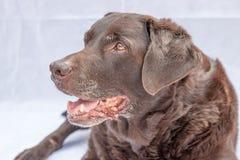 Fim de Labrador do chocolate acima Imagens de Stock Royalty Free