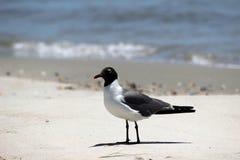 Fim de riso do pássaro da gaivota acima Fotos de Stock