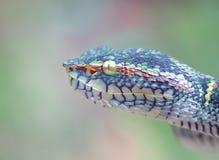 Fim de Waglers Pit Viper acima Fotografia de Stock