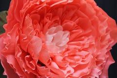 Fim delicado do papel da peônia da flor do crescimento enorme acima Fotografia de Stock Royalty Free