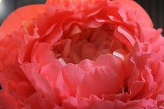 Fim delicado do papel da peônia da flor do crescimento enorme acima Fotos de Stock Royalty Free