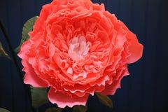 Fim delicado do papel da peônia da flor do crescimento enorme acima Foto de Stock
