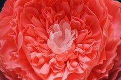Fim delicado do papel da peônia da flor do crescimento enorme acima Foto de Stock Royalty Free