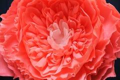 Fim delicado do papel da peônia da flor do crescimento enorme acima Fotos de Stock