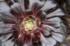 Fim descentralizado suculento do Aeonium roxo acima foto de stock