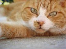 Fim detalhado acima da cara de gato de gato malhado do gengibre Fotografia de Stock