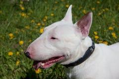 Fim diminuto do touro acima Inglês bull terrier ou os Cavalier brancos Imagem de Stock Royalty Free