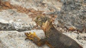 Fim do ângulo alto acima de uma iguana da terra em plazas sul nos Galápagos vídeos de arquivo