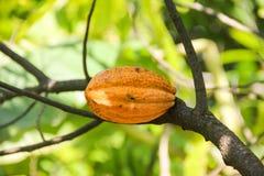 Fim do amarelo da vagem do fruto do cacau acima do fundo da selva do verde da árvore fotos de stock