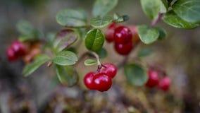 Fim do arbusto da airela acima na opinião superior de superfície de Moss Reindeer Fotografia de Stock Royalty Free