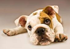 Fim do cão de filhote de cachorro acima Fotos de Stock