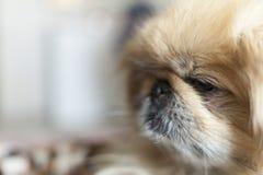 Fim do cão do pequinês acima Foto de Stock Royalty Free