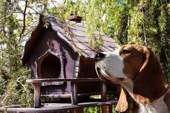 Fim do cão do lebreiro acima do retrato fotos de stock