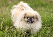 Fim do cão do pequinês acima Imagem de Stock Royalty Free