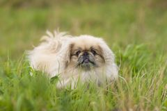Fim do cão do pequinês acima Imagens de Stock Royalty Free