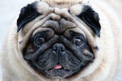 Fim do cão do Pug acima do tiro fotografia de stock royalty free