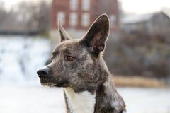 Fim do cão selvagem de Dingoe acima bonito imagem de stock royalty free