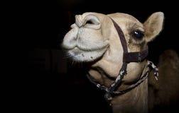 Fim do camelo acima da fotografia fotografia de stock