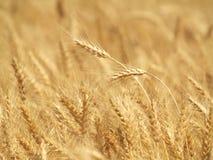 Fim do campo de trigo acima fotos de stock