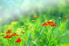 Fim do campo do Marigold acima Fotografia de Stock