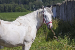 Fim do cavalo branco acima Fotos de Stock Royalty Free