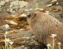 Fim do dia da marmota do porco à terra acima Fotografia de Stock