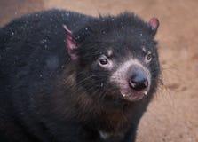 Fim do diabo tasmaniano acima fotos de stock
