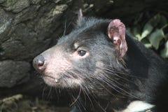 Fim do diabo tasmaniano acima Imagens de Stock Royalty Free