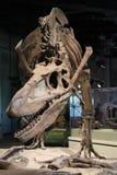 Fim do esqueleto de Rex do Tyrannosaurus acima Imagens de Stock Royalty Free