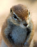 Fim do esquilo à terra acima Foto de Stock