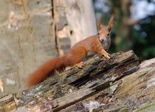 Fim do esquilo vermelho acima Fotografia de Stock Royalty Free